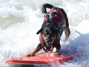 836894-surfing-dog-competition.jpg